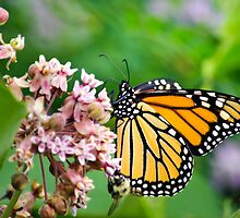 Colorful Monarch Butterfly by Christina Rollo