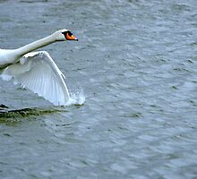 Swan's runway...is a long one by Laurie Minor