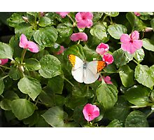 Great Orange Tip Butterfly Photographic Print