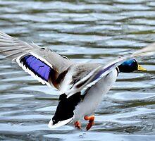 Mallard Duck in flight by Laurie Minor