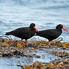 SOOTY OYSTER-CATCHERS  (View Large) by Leslie-Ann