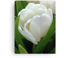 Beautiful White Springtime Tulip Canvas Print