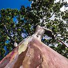 Rainbow Eucalyptus by barkeypf