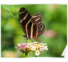 Zebra Longwing in profile Poster