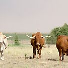 Afrikaner Ox by Madcowontherun