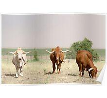 Afrikaner Ox Poster
