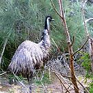 *Large Emu wandering through Tower Hill, Vic. Australia* by EdsMum