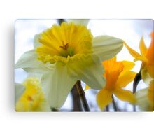 Under The Daffodils  Canvas Print