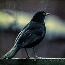 Blackbird by Adrian Evans