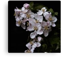 Apple blossoms Canvas Print