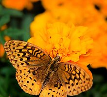 Orange Butterfly on Marigolds by Christina Rollo