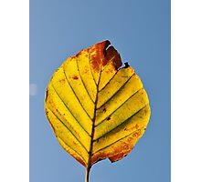 BEECH LEAF AGAINST BLUE SKY Photographic Print