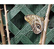 Owl Butterfly at Trellis Photographic Print
