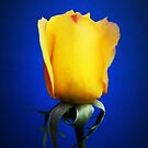 Yellow Rose Blues by Shawna Rowe