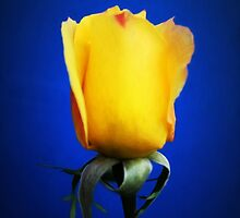 Yellow Rose Blues by Shawna Rowe