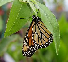 Monarch Butterfly and Lemon Eucalyptus by Sheri Ann Richerson