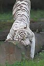 White Bengal Tiger Marking Territory by Carole-Anne