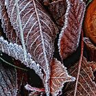 Frosted leaves by Karen  Betts