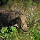 Warthog by Heather Thorsen