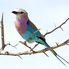 Lilac Breasted Roller - Kruger NP South Africa by Beth  Wode