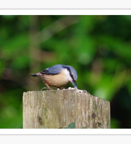 Nuthatch collecting sunflower seeds Sticker