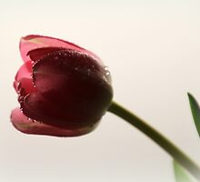 Tulip after the Rain by karina5