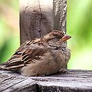 Sparrow.....a place out of the weather..........! by Roy  Massicks