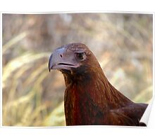 Wedgetail Eagle head Poster