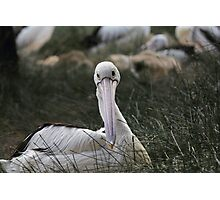 Pelican  Photographic Print