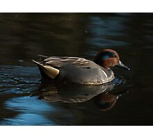 Green-Winged Teal Photographic Print