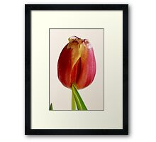red tulip macro Framed Print