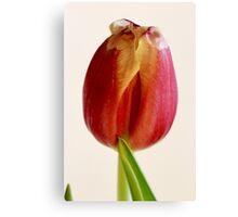 red tulip macro Canvas Print