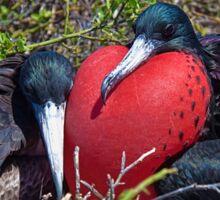 Ecuador. Galapagos Islands. Frigatebirds. Sweethearts. Sticker