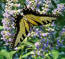 Tiger Swallowtail by Catherine  Howell
