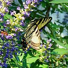 Tiger Swallowtail On Chaste Tree by Catherine  Howell