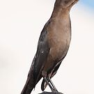 Female Common Grackle  by barnsis