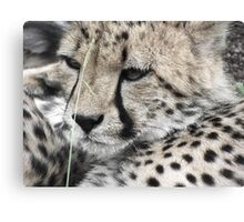 Watching Cheetah Canvas Print