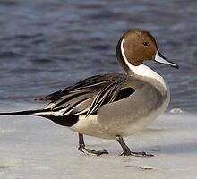 Northern Pintail (male in breeding plumage) by DigitallyStill