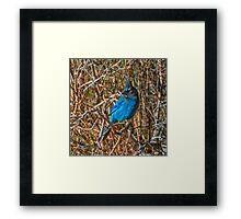 Mountain Blue Jay Framed Print