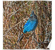 Mountain Blue Jay Poster