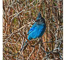Mountain Blue Jay Photographic Print