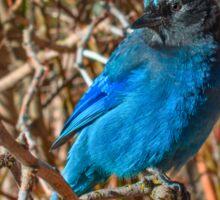 Mountain Blue Jay Sticker