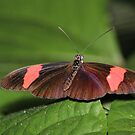 Erato Longwing Butterfly by hummingbirds
