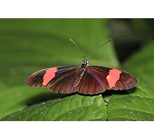Erato Longwing Butterfly Photographic Print