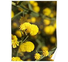 Winged Wattle Poster