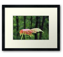 Spring Maple leaf Framed Print