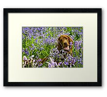 Irish setter in bluebells Framed Print