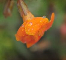 Apricot petals after the rain. by Karen  Betts