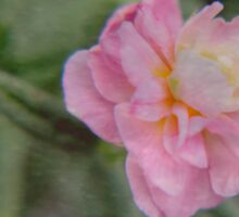 Alpine Rock rose ~ soft pink Sticker