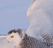 Touchdown - Snowy Owl Sticker
